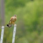 Sa, 04.05.19 - 15:15 - Falco tinnunculus Common Cestrel  Die leben auf einem benachbarten Bauernhof, und machen die umliegenden Weinberge unsicher für Kleintiere. Dieser hat gerade eine Mahlzeit auf diesem Pfosten beendet.