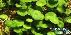 Hydrocotle verticillata
