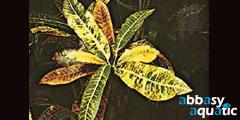 Croton species