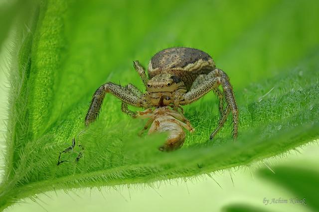 Eine Ulmen-Krabbenspinne (Xysticus cf ulmi) verzehrt gerade einen kleinen Rüsselkäfer