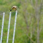 Sa, 04.05.19 - 15:14 - Falco tinnunculus Common Cestrel  Die leben auf einem benachbarten Bauernhof, und machen die umliegenden Weinberge unsicher für Kleintiere. Dieser Verspeist gerade eines seiner Opfer
