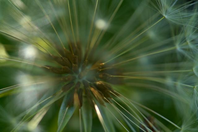 Dandelion Close-up