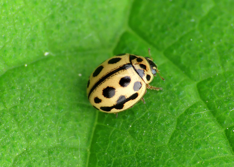 16-spot Ladybird - Tytthaspis sedecimpunctata