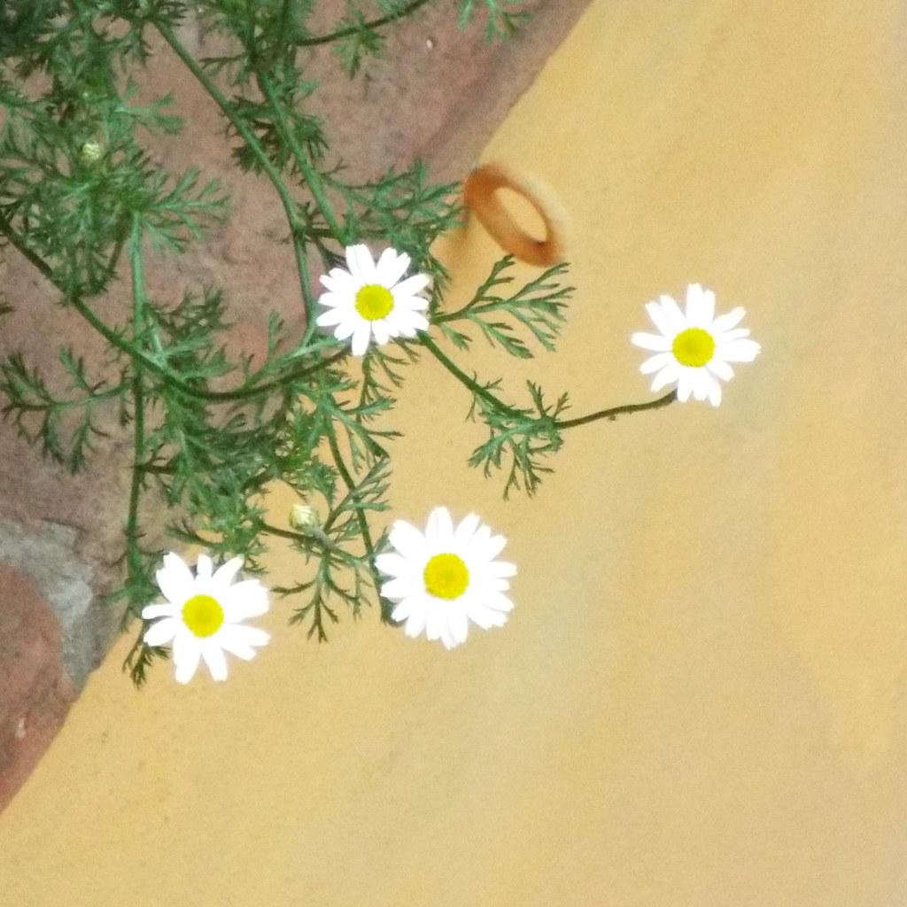Matteo Kitchens: My Neighbour's Daisies From My Kitchen's Window