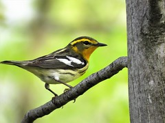Female Blackburnian Warbler