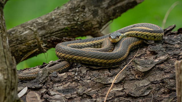Couleuvre rayée - Common garter Snake