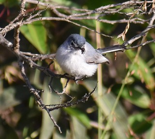 Blue-gray Gnatcatcher With Insect in Ramona, California on May 17, 2019