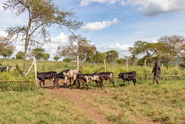 Field visits to Kiruhura District, Uganda on 2nd May 2019 by the team implementing the Program for Climate-Smart Livestock systems (PCSL).