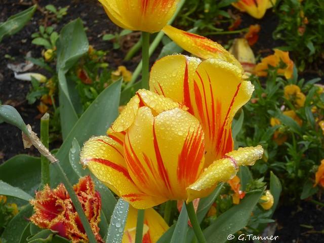 Insel Mainau Tulpen im Regen
