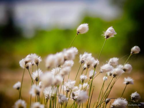 Blühendes Wollgras in Hohen Venn
