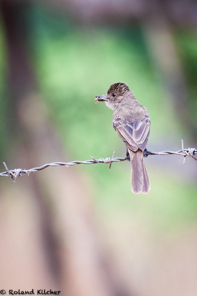 Flycatcher, Short-crested
