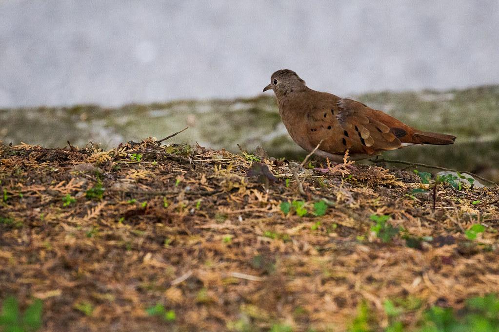 Ground-Dove, Ruddy
