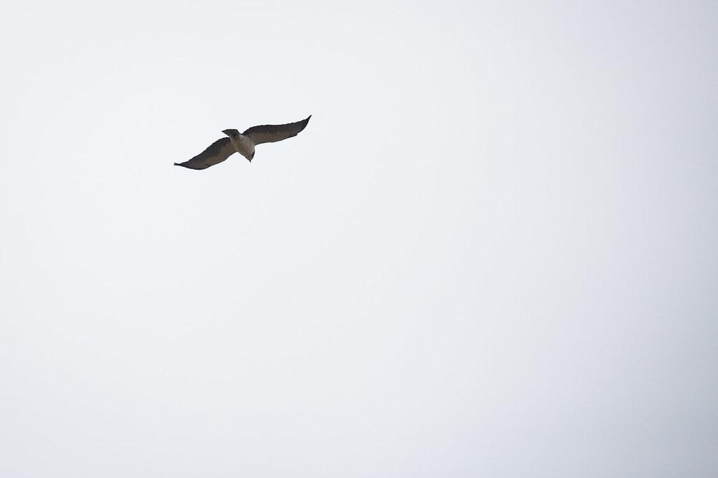 Hawk, Short-tailed