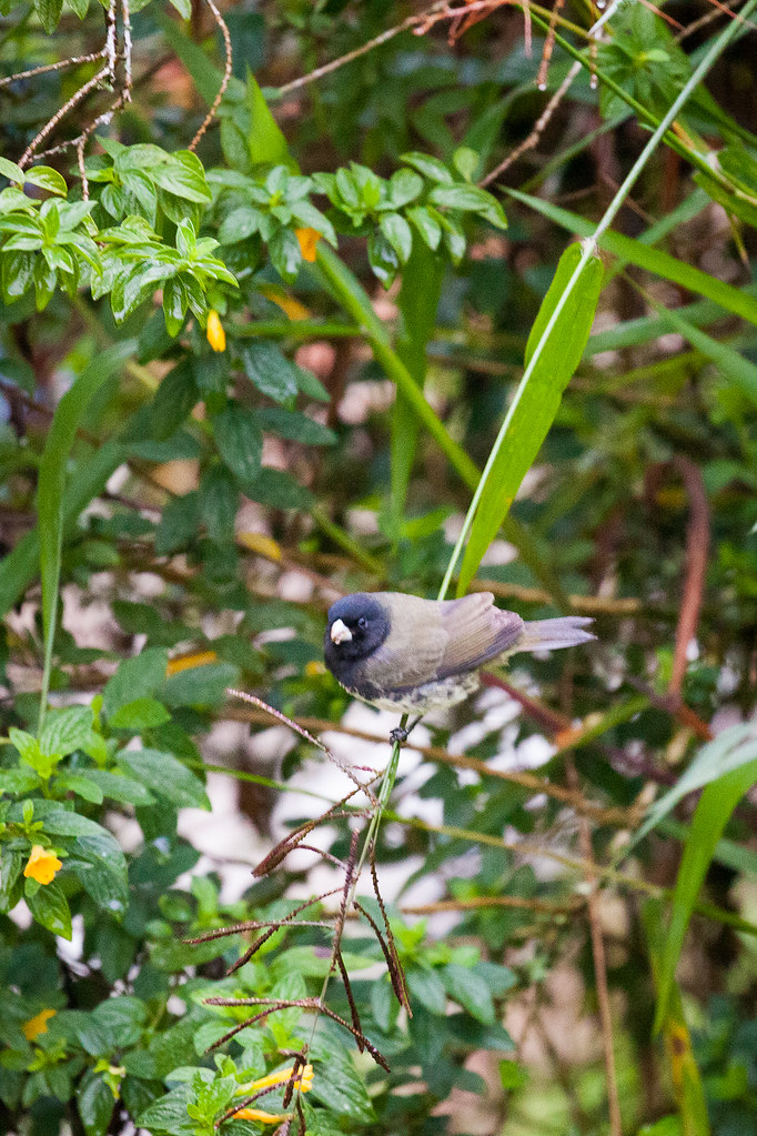 Seedeater, Yellow-bellied