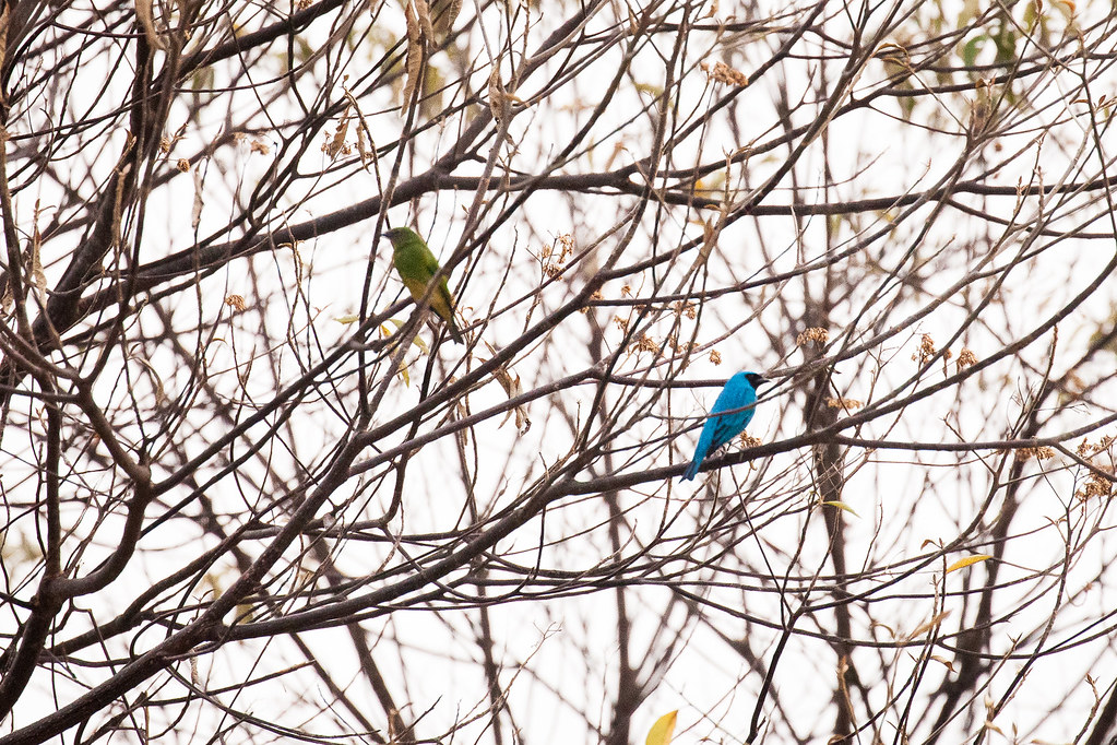 Tanager, Swallow