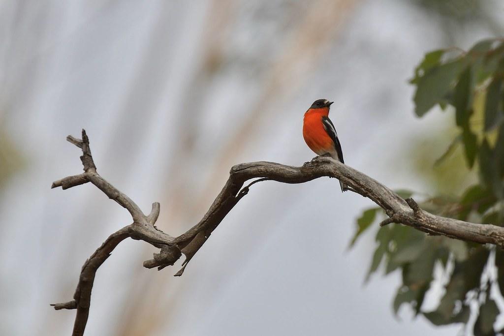 Flame Robin ( Male )