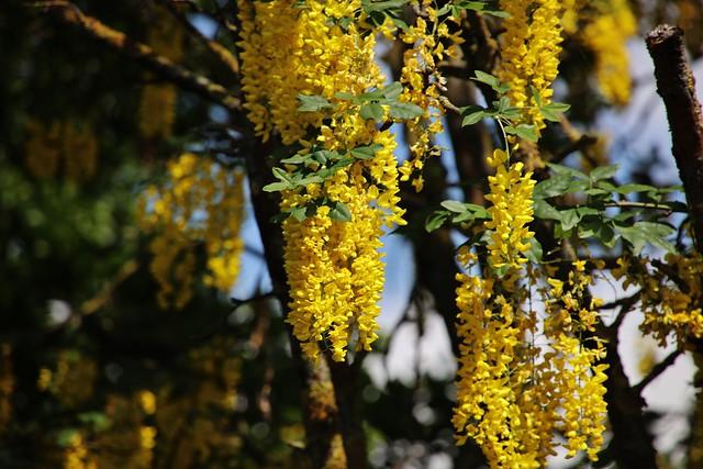 Gemeiner Goldregen (Laburnum anagyroides)