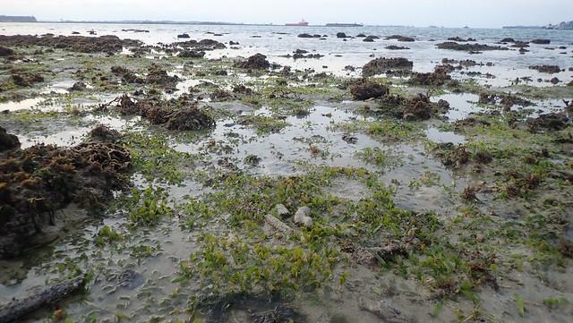 Spoon seagrass (Halophila ovalis) with big leaf blades