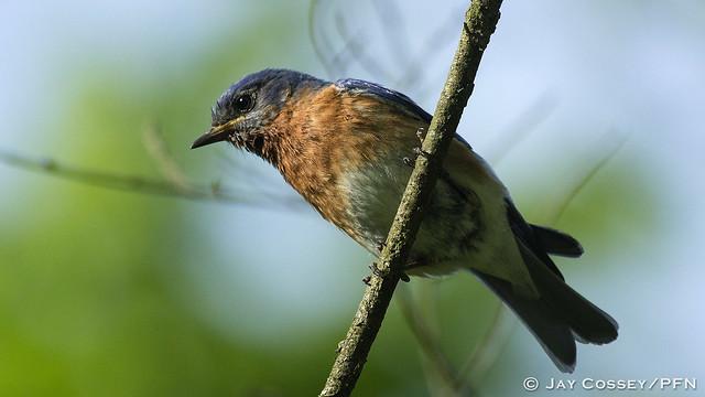I've got my eye on you! Eastern Bluebird male R8881 Martin Co, IN HD
