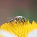 Lasioglossum_5969