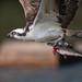 Osprey 5_21 by krisinct- Thanks for 15 Million views!