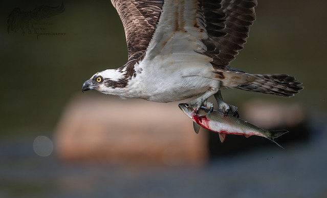 Osprey 5_21