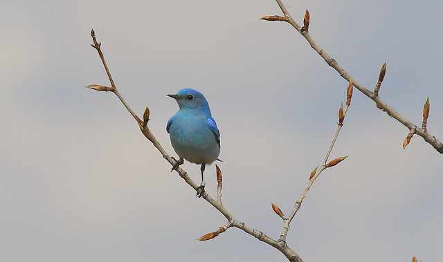 Mountain Bluebird (male)  0541