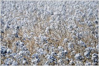blueish canola field