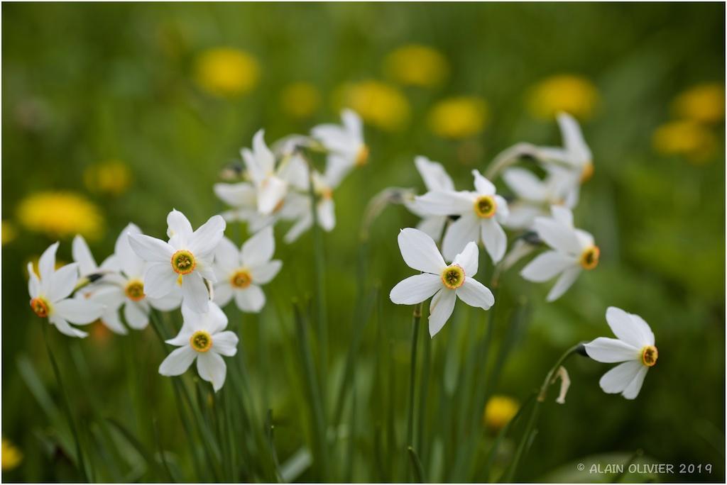 Narcissus 40934660583_56c8f6dcf3_b