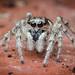 Zebra Spider [lat. salticus scenicus]