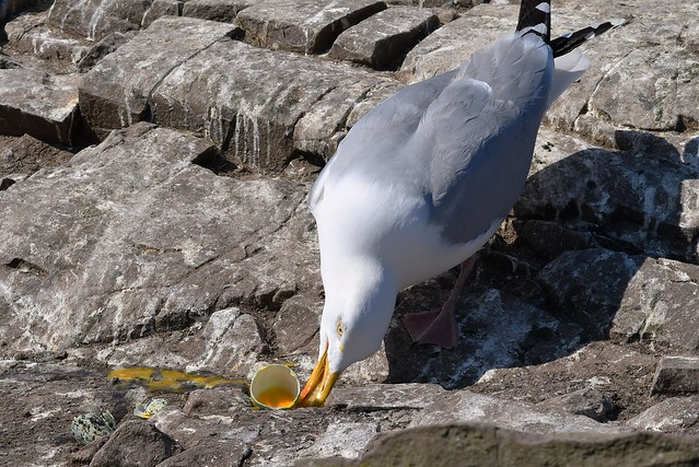 Egg thief - A Herring Gull steals a Guillemots Egg on Staple Island (The Farne Islands).