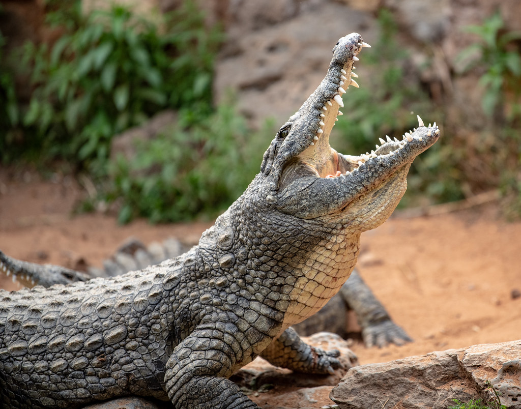 Nile Crocodile_18