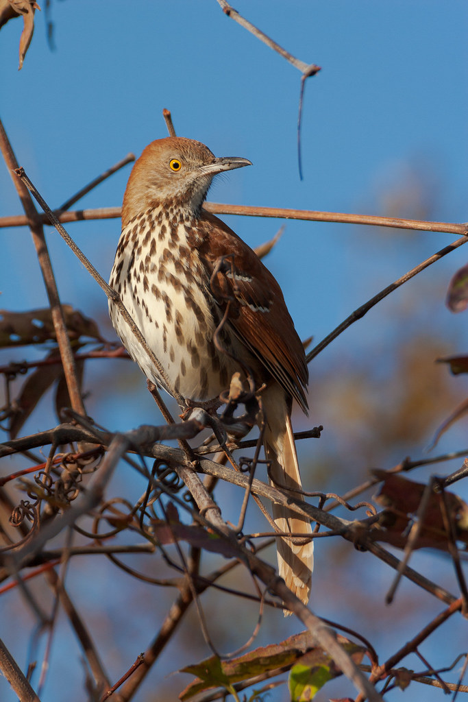 A brown thrasher perches in a thicket at Huntington Beach State Park in Murrels Inlet, South Carolina in November 2006