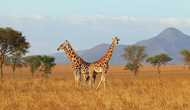 Rothschild's giraffes, Narus Valley, Kidepo National Park, Uganda