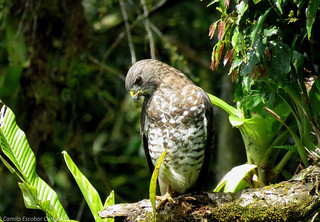 Broad-winged hawk - Buteo platypterus | by Camilo Escobar Carbonari