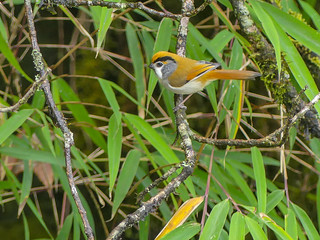 Black-throated Parrotbill | by Mike Prince