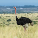Common Ostrich - Photo (c) Nick Athanas, some rights reserved (CC BY-NC-SA)