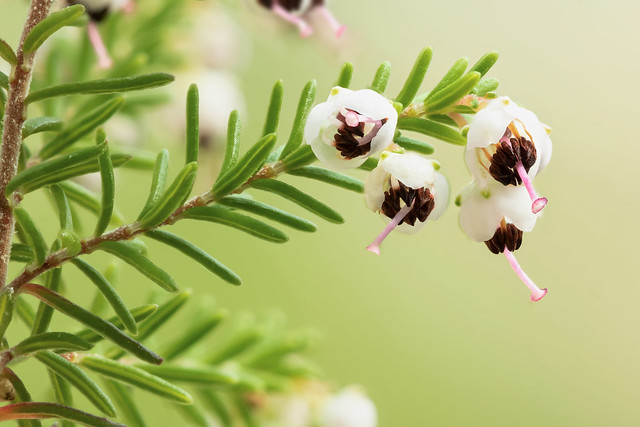 Erica sparsa 6019-1; Ericaceae (1)