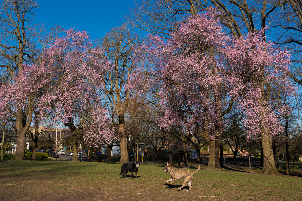 A dog runs up to greet our dog Ellie as the trees bloom in the background at Irving Park in the Irvington neighborhood of Portland, Oregon in March 2018