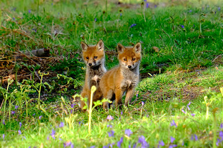 Fox cubs on Coward's Marsh, Christchurch, Dorset | by Roger Lancefield