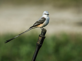 Scissor-tailed Flycatcher | by nickathanas