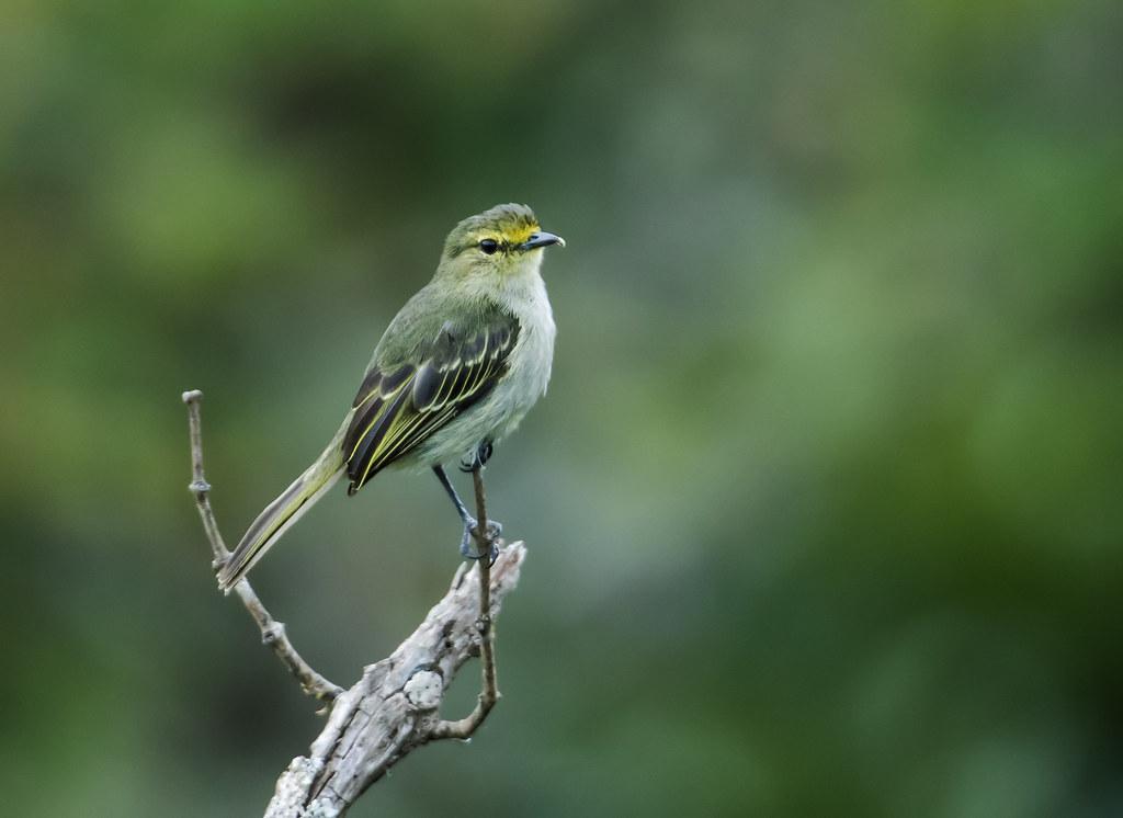 Imagen de una de las aves del Quindio: Tiranuelo matapalos (Zimmerius viridiflavus)