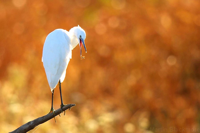 Little Egret grabbing a passing snack 113451