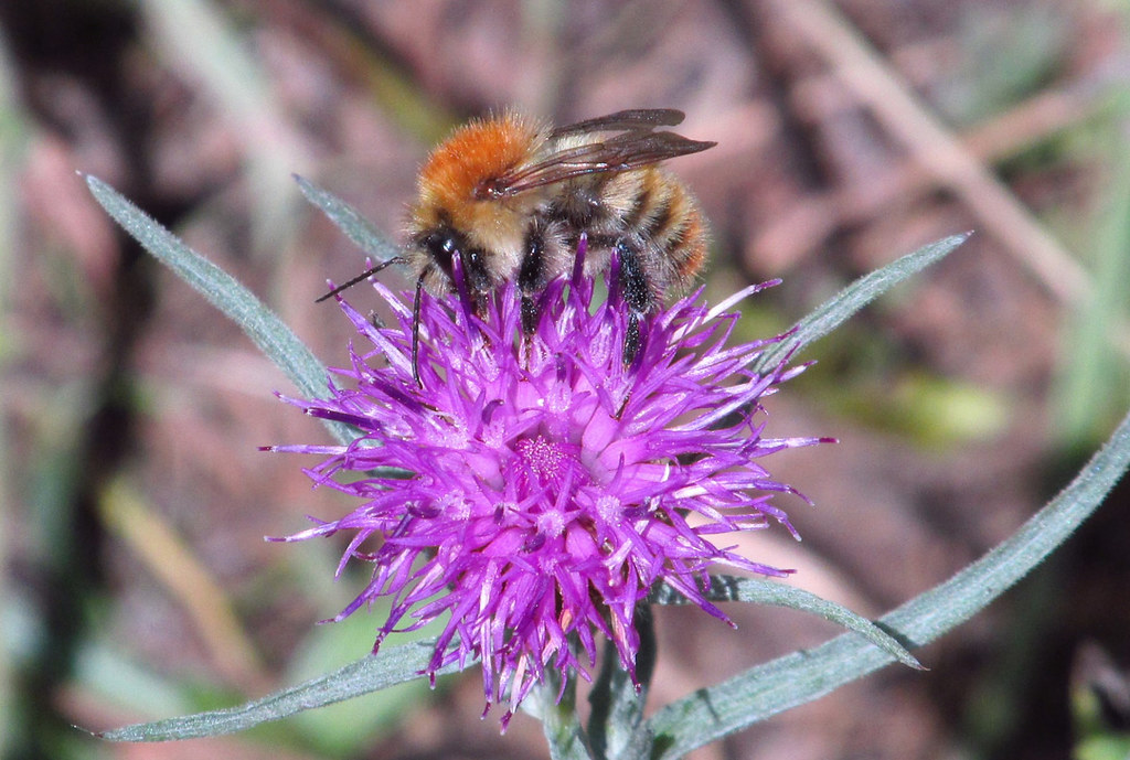 Common Knapweed (Centaurea nigra) & Common Carder Bee (Bombus pascuorum)  2018-07-31. Parc Slip, Aberkenfig, South Wales.