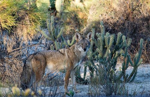 nocturnal skillful hunter dogdogs jeffreyneihart wildlife ranchocaliforniarvresort coyote morning sunrise afsnikkor300mmf4epfedvr nikonnikkor300mmf4epfedvr nikonafsnikkor300mmf4epfedvr nikond7200 cactus hunting fantasticwildlife