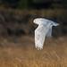 Flickr photo 'Snowy Owl, Bubo scandiacus (Linnaeus, 1758) ♀' by: Misenus1.
