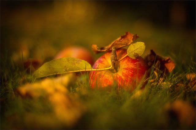 Apfel (Sorte Topaz) in der Abendsonne / Apple (variety Topaz) in the evening sun