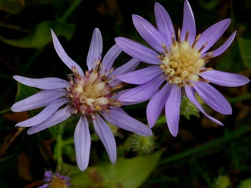 abrp easternsilveraster symphyotrichumconcolor