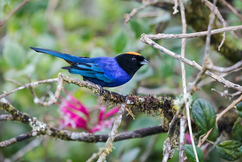 Golden-crowned Tanager | by nickathanas
