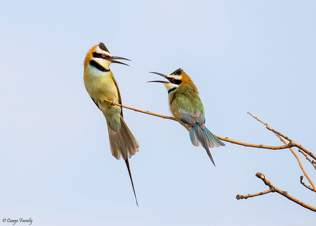 White-throated Bee-eater (Lifer)